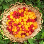 Beautiful Basket of Edible Salmonberries