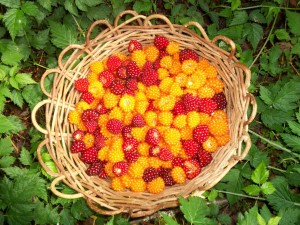 Beautiful Salmonberries in basket made by Wolf Camp survival specialist Andrew Twele.