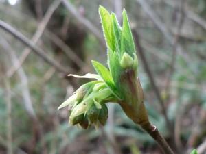 plant-indian-plum-beginning-to-flower