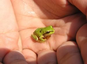 Pacific Chorus Tree Frog photo by Kim Chisholm