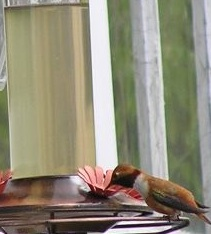 Rufus Hummingbird at Wolf College Feeder