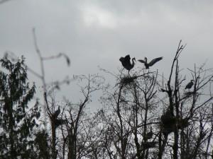 bird-great-blue-heron-display-as-mate-returns-to-nest