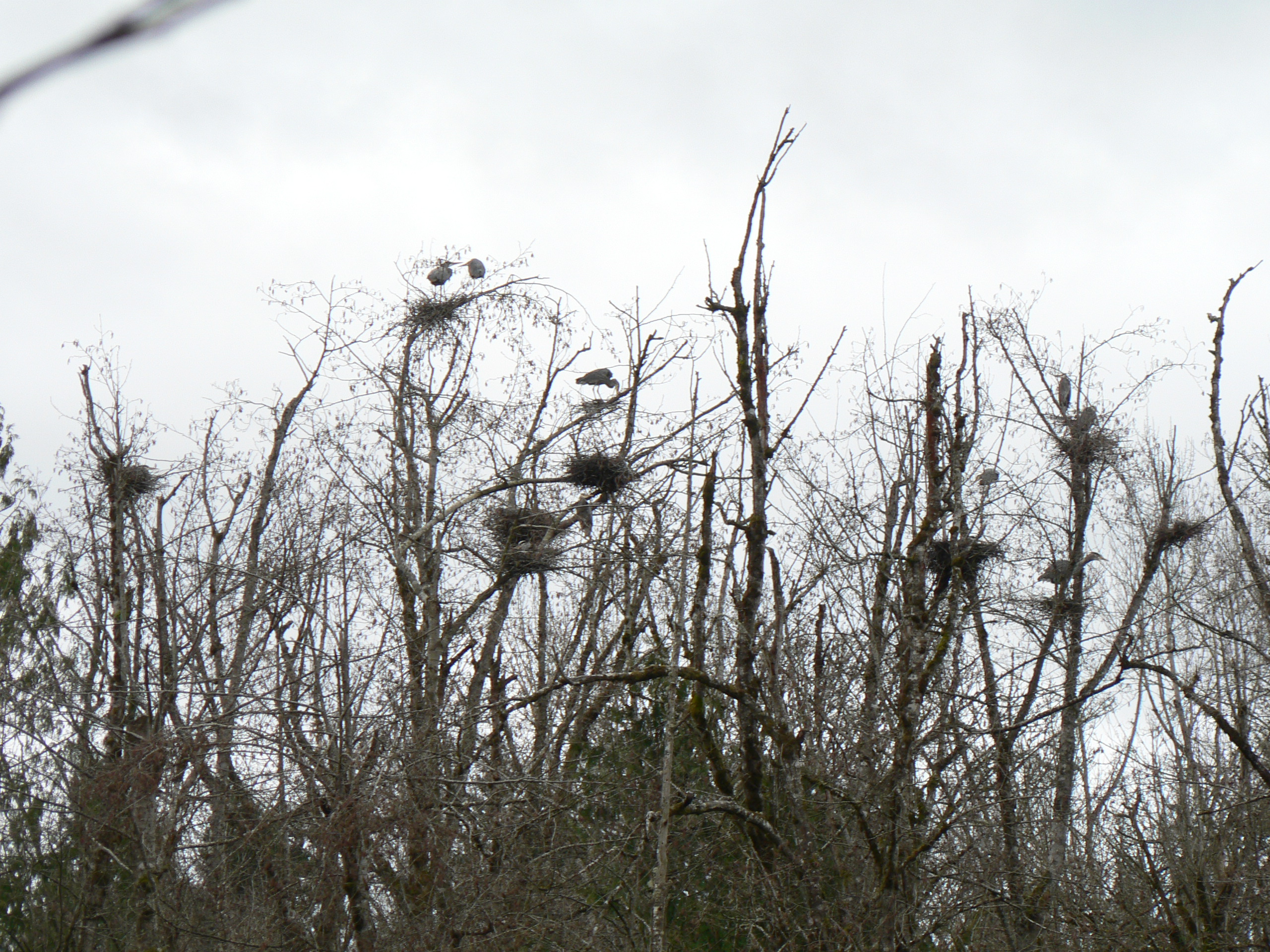 bird-great-blue-heron-heronry-has-doubled-in-size