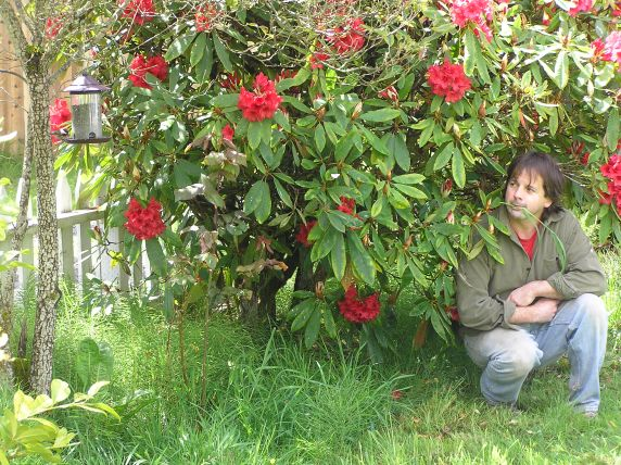 Chris Chisholm eating grass next to Rhododendron and turned sideways to Chickadee at sunflower feeder