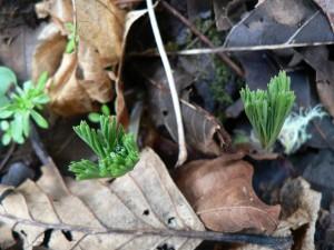 plant-wild-bleeding-heart-emerging