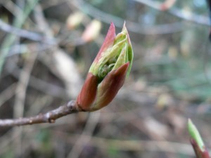 shrub-indian-plum-bud-opening