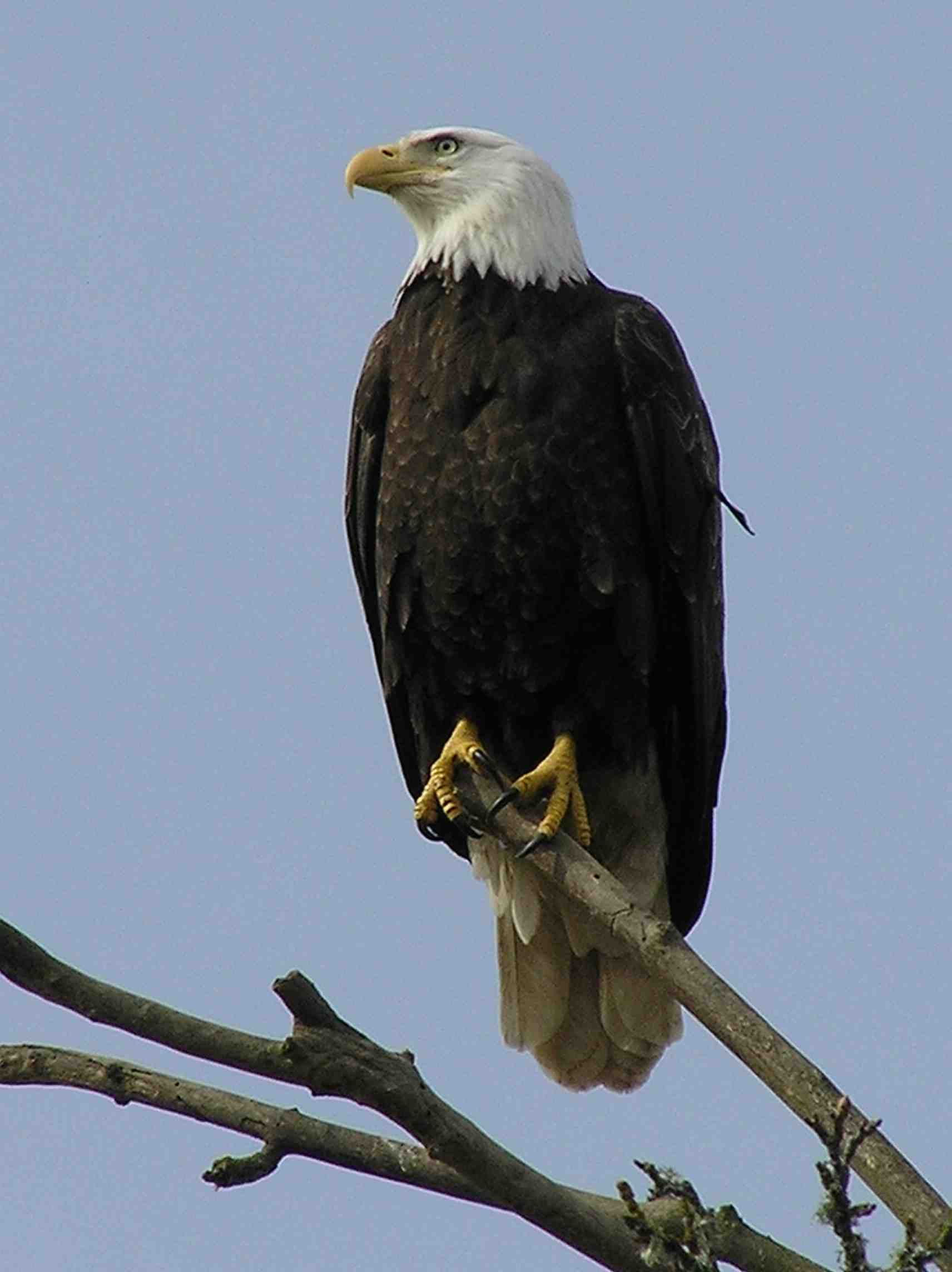 Bald Eagle photo by Kimberly M Chisholm. Bald eagles have a distinct companion call in flight when returning to the nest, among other vocalizations.