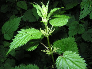 This stinging nettle is starting to flower and will soon go to seed. Many believe nettle ought not to be harvested for food during or after this stage.