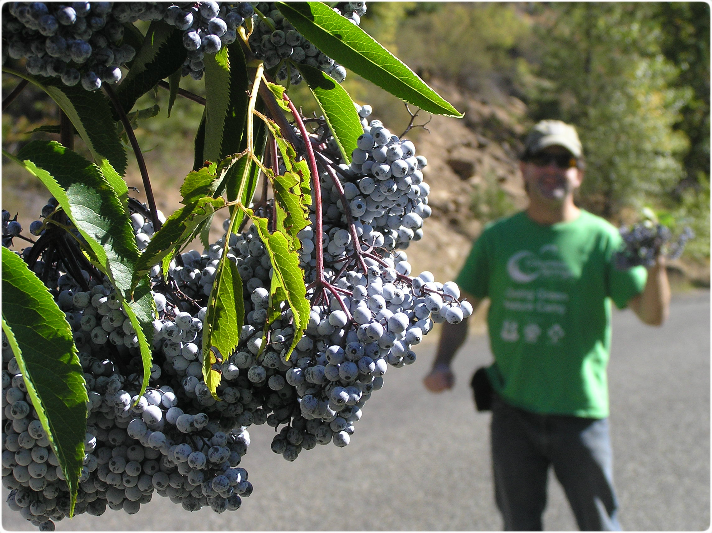 harvesting elderberry